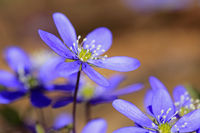 Hepatica Nobilis Flower Close Up
