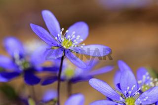 Hepatica Nobilis Flower Close Up