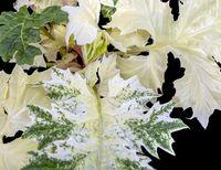 big bicolor leaves closeup