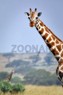 Rothschild-Giraffen im Murchison Falls Nationalpark Uganda (Giraffa camelopardalis rothschildi)   Ugandan giraffe, Murchison Falls National Park Uganda (Giraffa camelopardalis rothschildi)