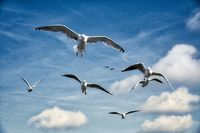 a flock of seagulls in blue sky with some clouds