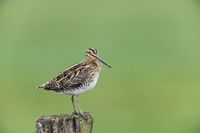 Bekassine, Gallinago gallinago, Common Snipe