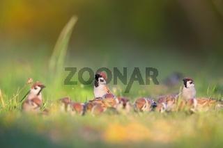 eurasian tree sparrows sitting on meadow in summer.