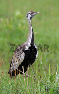 Schwarzbauchtrappe, Kruger Nationalpark Südafrika; Black-bellied Bustard in Kruger National Park, South Africa, Lissotis melanogaster