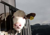 calf in cowshed looks at you