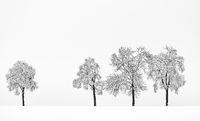 Vier Bäume L1001693.jpg