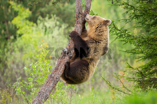 Female brown bear climbing a tree in summer nature with green forest behind