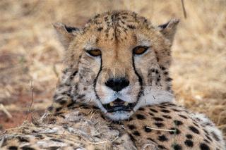 Cheetah at Kagalagadi National Park