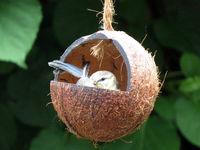 Blaumeisen Küken in einer Kokosnuss