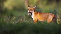 Happy red fox standing on a green meadow in summer at sunset