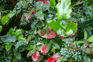 Stechdornblättrige Mahonie mit Blätter und Früchten im Herbst