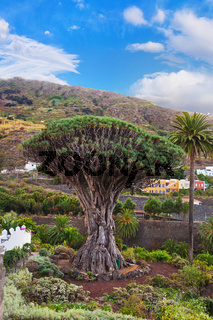 Famous Millennial Dragon Tree in Tenerife - Canary