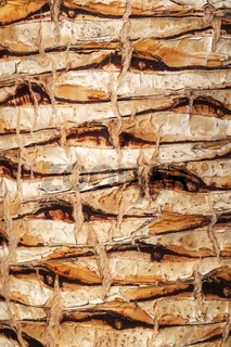 Kanarischer Drachenbaum - Dracaena draco