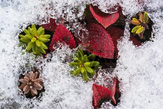 Alpenbaerentraube (Arctostraphylos alpina (L.) SPRENG; englisch: Black Bearberry) und Zwittrige Kraehenbeere (Empetrum hermaphrodicum HAGERUP; englisch: Crowberry) im Schnee, Lappland