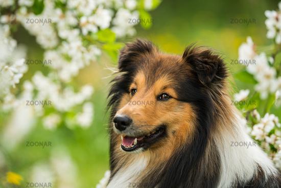 Sheltie dog in a spring flower meadow