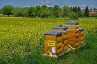 Bienenstöcke an einem Rapsfeld