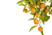 Reife Orangen an einem Orangenbäumchen, freigestellt