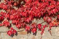 Dreispitzige Jungfernrebe im Herbstlaub
