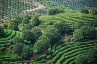 Beautiful  shot of a tea plantation  on a sunny day