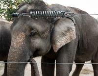 Elephant in captivity in Chitwan, Nepal
