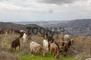 Ziegen (Capra) im Troodos-Gebirge, Zypern