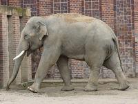 Asiatischer Elefantenbulle Voi Nam im Elefantentempel  Ganesha Mandir vom ZOO Leipzig