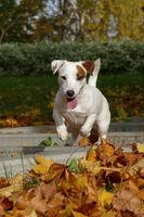 Little white dog jumping forward
