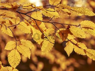 Herbstlaub, Herbstfarben
