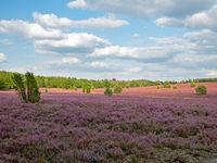 Landschaft in der Lüneburger Heide zur Heideblüte, Niedersachsen, Deutschland