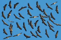 Vultures scattered flying in the blue sky
