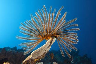 Schlegels Haarstern in Korallenriff, Papua Neuguinea