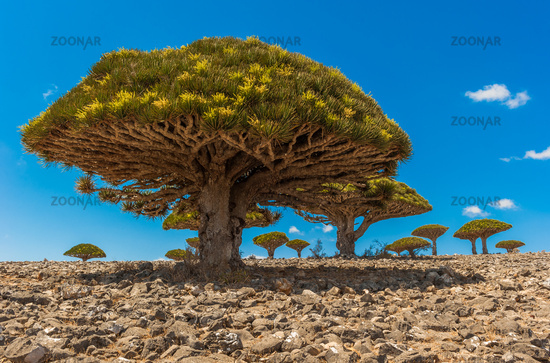 Dragon trees on Socotra Island, Yemen