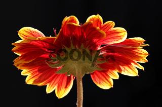 Osteospermum-Hybrid 07
