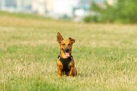 Happy dog outside sitting. Stylish black vest . Open mouth tongue smiling
