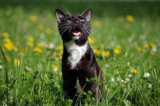junge maunzende Katze im Gras