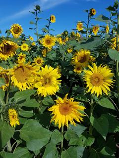 Ein Feld mit blühenden Sonnenblumen
