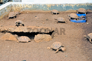 Landschildkröten Aufzucht auf Galapagos