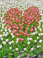 Pink heart in a tulip field
