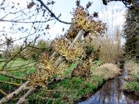 Nahaufnahme von Blüten einer Gemeinen oder Gewöhnlichen Esche (Fraxinus excelsior), im Hintergrund eine Streuobstwiese