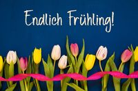 Colorful Tulip, Endlich Fruehling Means Finally Spring, Ribbon, Blue Background