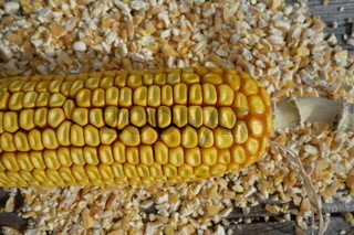 Zea mays, Mais, Maize
