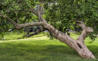 Greizer Park - Tulpen-Magnolie