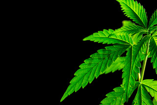 Young medical Cannabis plant close up isolated on black