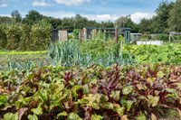 Dutch allotment garden in autumn with beets and leek