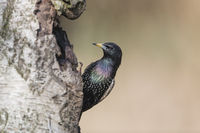 Star, Sturnus vulgaris, Common Starling