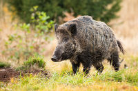 Wild boar standing on meadow in autumn nature.