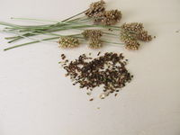 Essbare Samen vom Spitzwegerich mit ährigem Fruchtstand