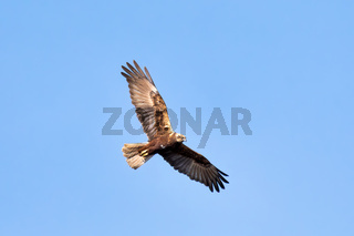 Birds of prey - Marsh Harrier, Europe Wildlife