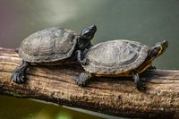 Two turtles are sitting on an old tree branch.