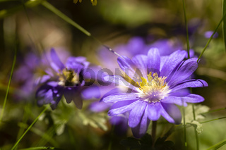 Balkan-Windröschen, Balkan anemone